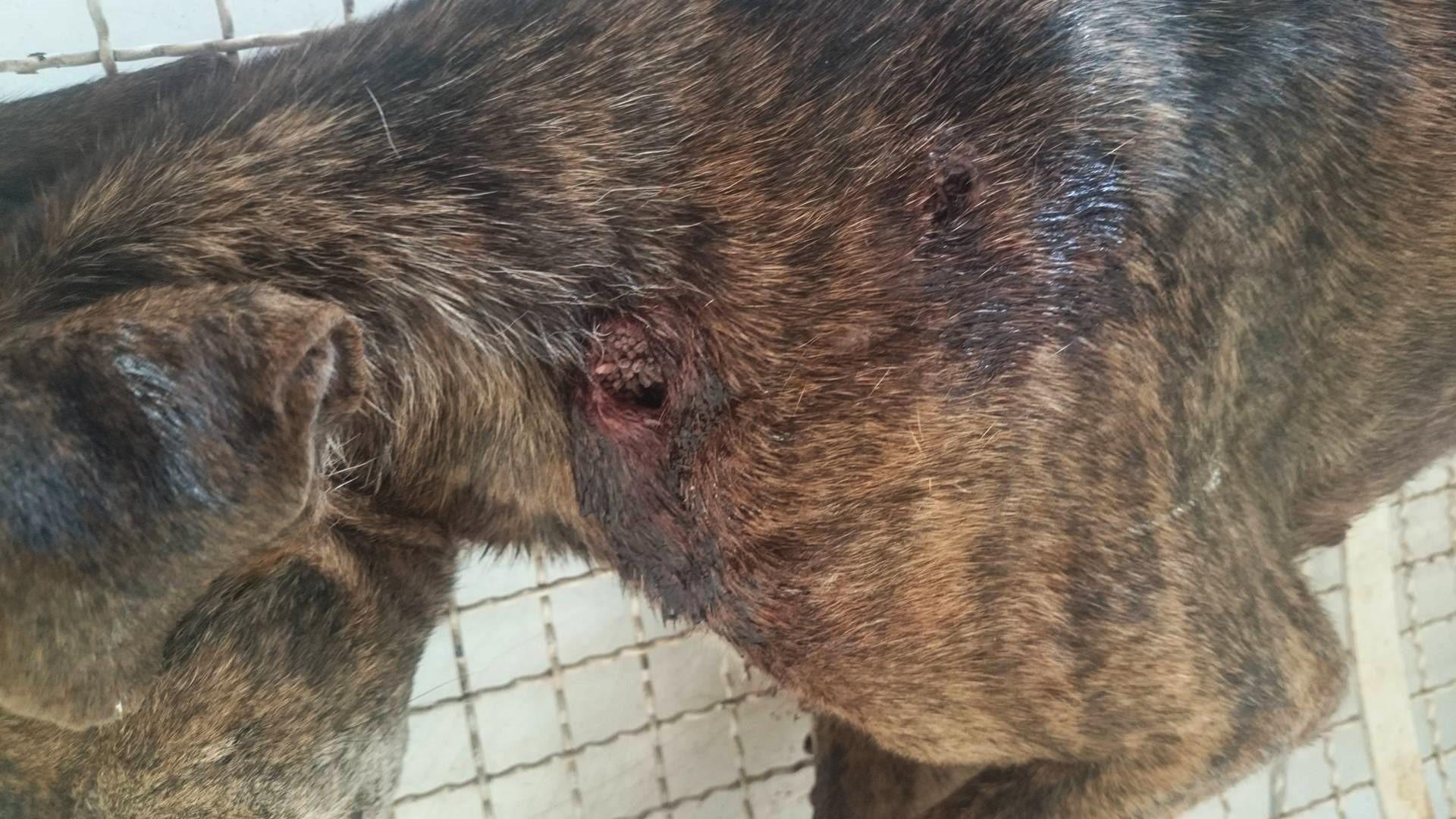 Cadela é sacrificada após ser baleada com quatro tiros em Artur Nogueira
