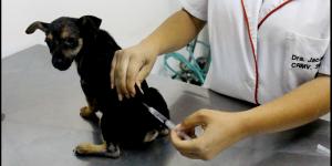 Surto de cinomose preocupa veterinários e protetores de animais em Artur Nogueira
