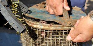 Guarda captura porco-espinho em avenida de Artur Nogueira
